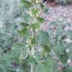 White Horehound2