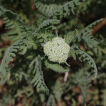Yarrow moonshine buds