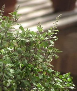 Holy Basil Green