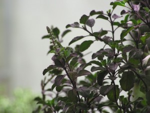 Holy Basil Purple