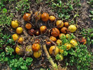 mandrake-berries