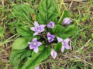 mandrake-flowers