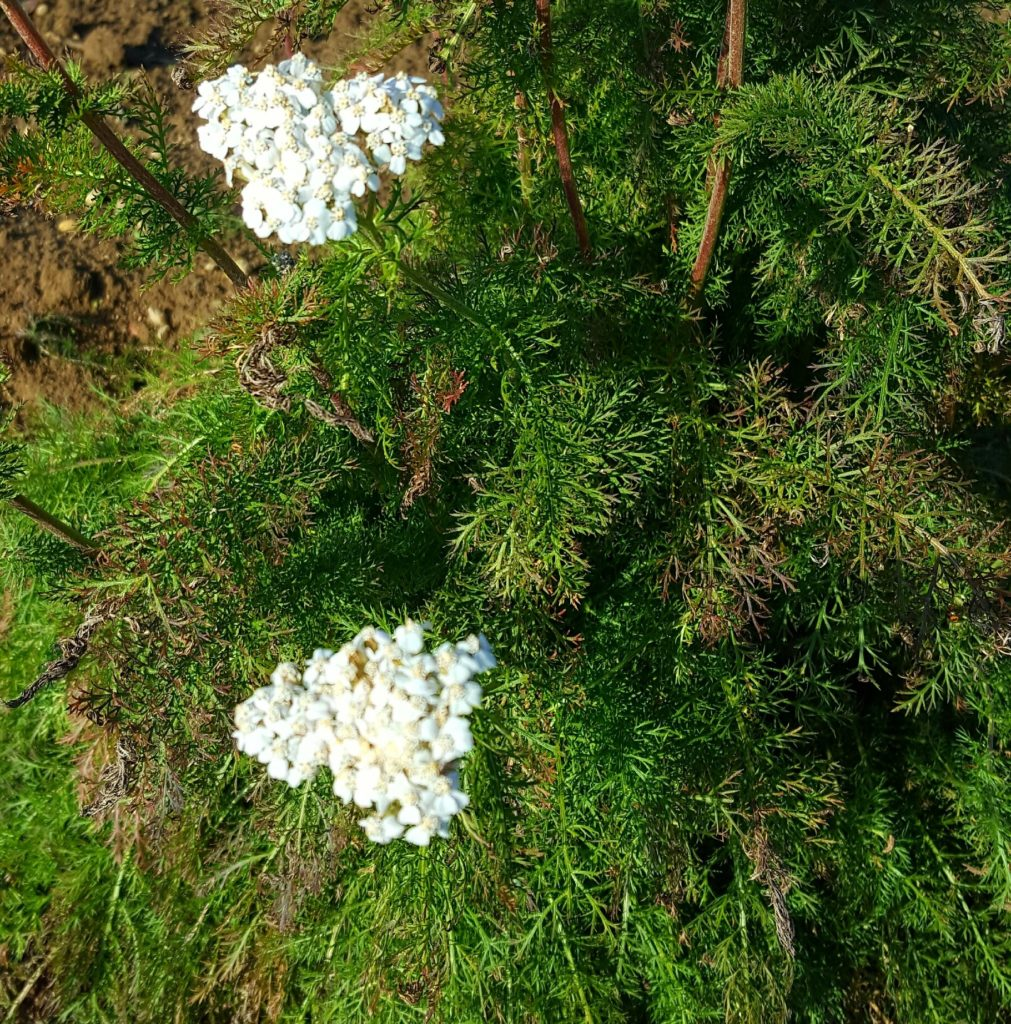 november-yarrow-crop