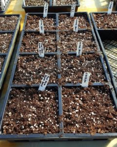 Basil Sowing2 Feb 20