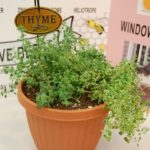 Flower Show Thyme