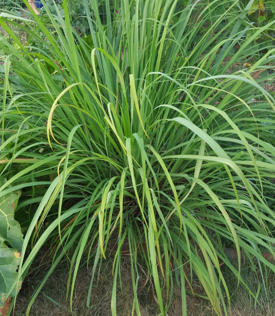 Lemon Grass (2)
