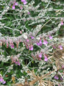 Cat Thyme flowers