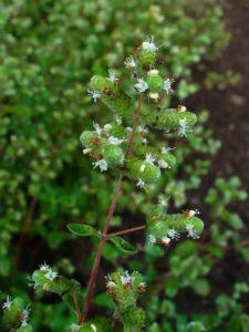 Sweet Marjoram Flowers