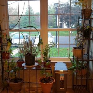 Growing Herbs Indoora