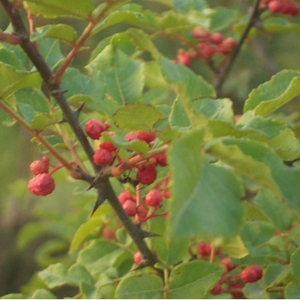 Sichuan Pepper Bush Berries