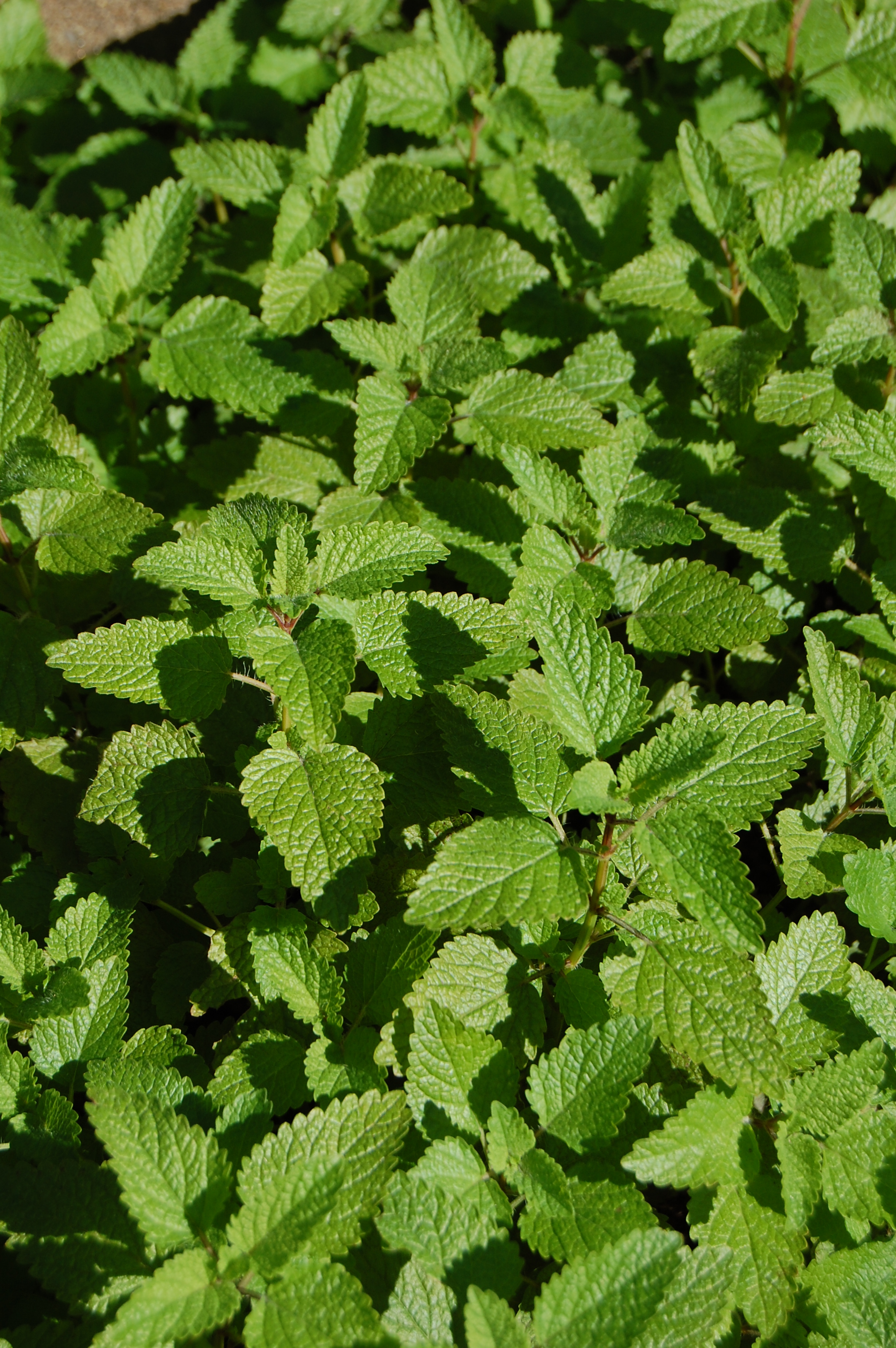 Shade Tolerant Herbs Advice From The
