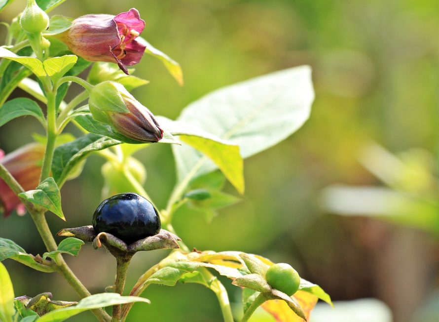 Deadly Nightshade Belladonna Advice From The Herb Lady